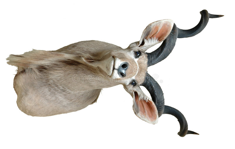 Free Kudu Mount Royalty Free Stock Images - 1906339