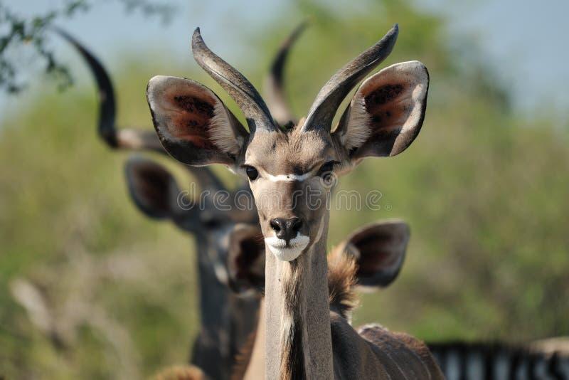 Kudu, Namibia immagine stock libera da diritti