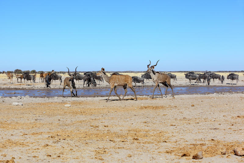 Kudu no waterhole enlameado fotos de stock royalty free