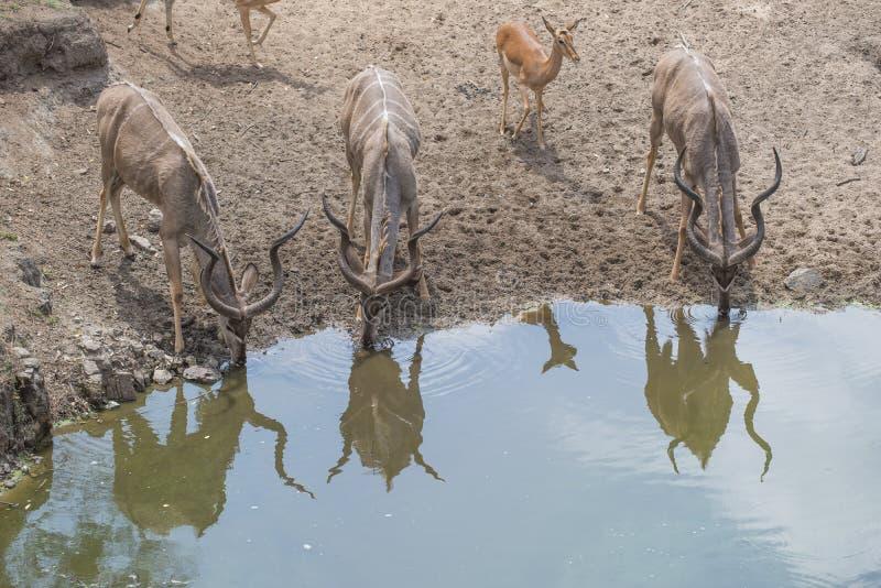 Kudu och impala på en fördämning royaltyfri bild