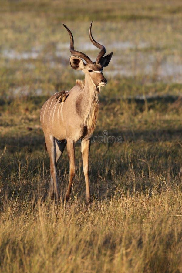 Kudu - Okavango Delta -博茨瓦纳 免版税库存照片