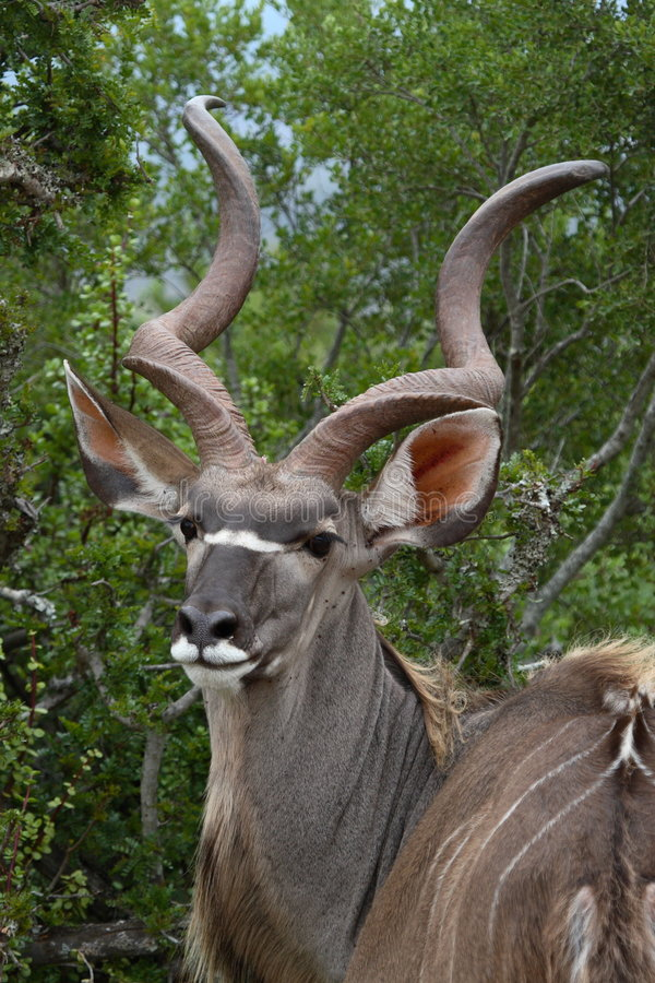 Kudu portrait stock photography
