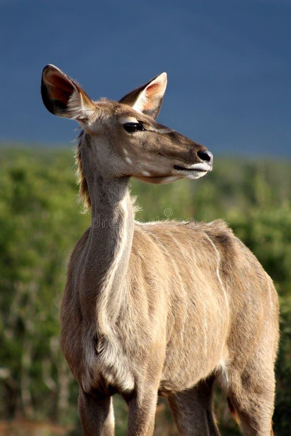 Kudu Profile royalty free stock photos