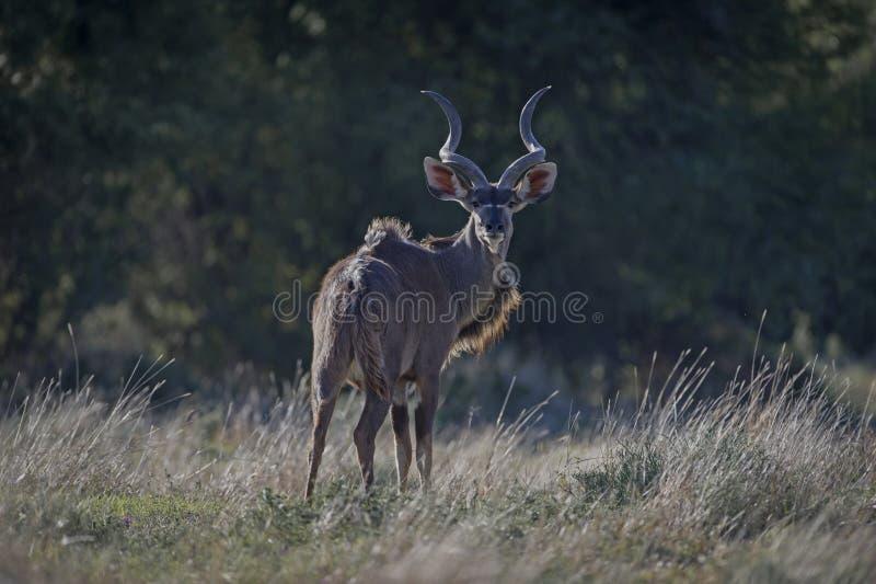 Kudu que olha para trás fotos de stock royalty free