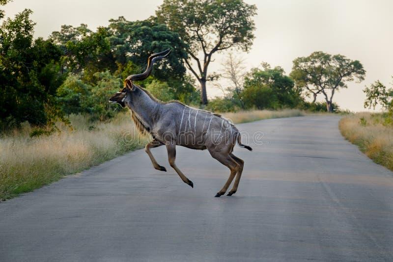 Kudu que salta sobre un camino foto de archivo