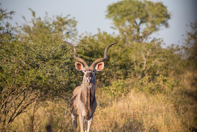 Kudu que se coloca en hierba alta entre árboles foto de archivo libre de regalías