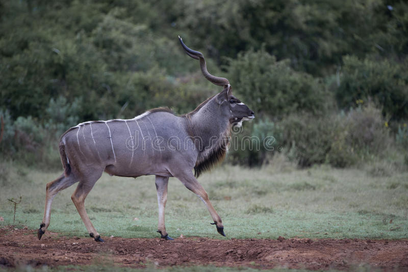 Kudu régio Bull imagens de stock royalty free