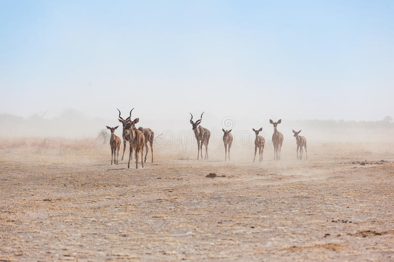 Kudu's in the dust stock image