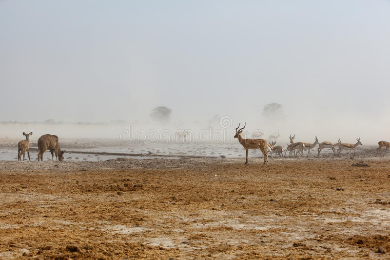 Kudu's, Impala's and Springbuck at a dusty waterhole royalty free stock photography