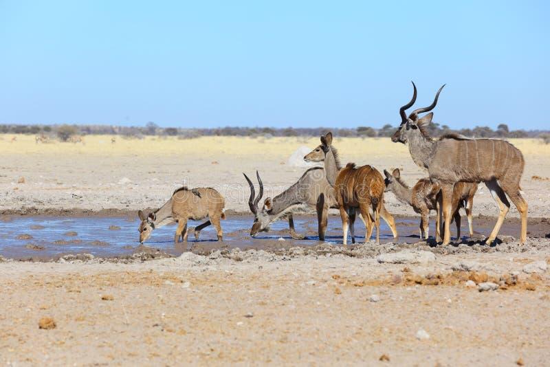 Kudu's in muddy waterhole stock photos