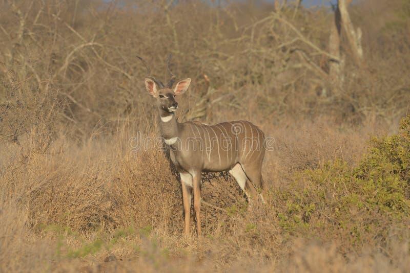 Kudu in Savanneborstel royalty-vrije stock afbeelding