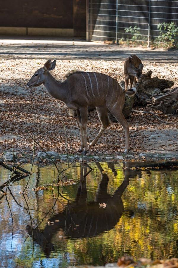 Το μεγαλύτερο kudu, strepsiceros Tragelaphus είναι μια δασόβια αντιλόπη στοκ εικόνα
