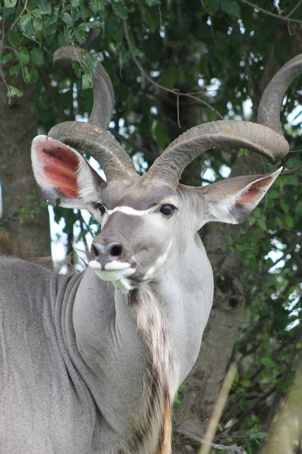 Kudu sud-africain photographie stock