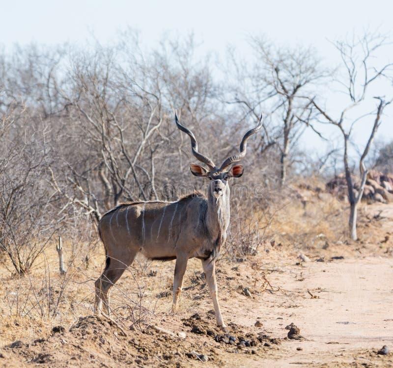 Kudu tjur royaltyfria foton