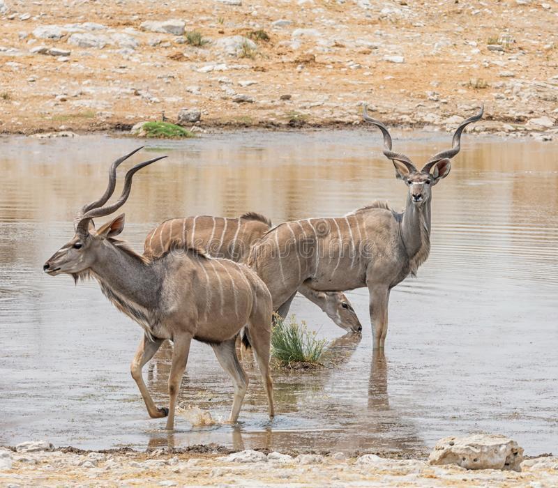 Kudu tjurar royaltyfri bild