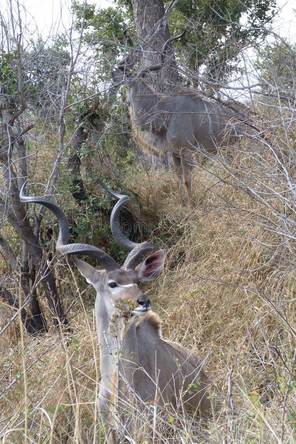 Kudu tjurar stänger sig upp royaltyfri bild
