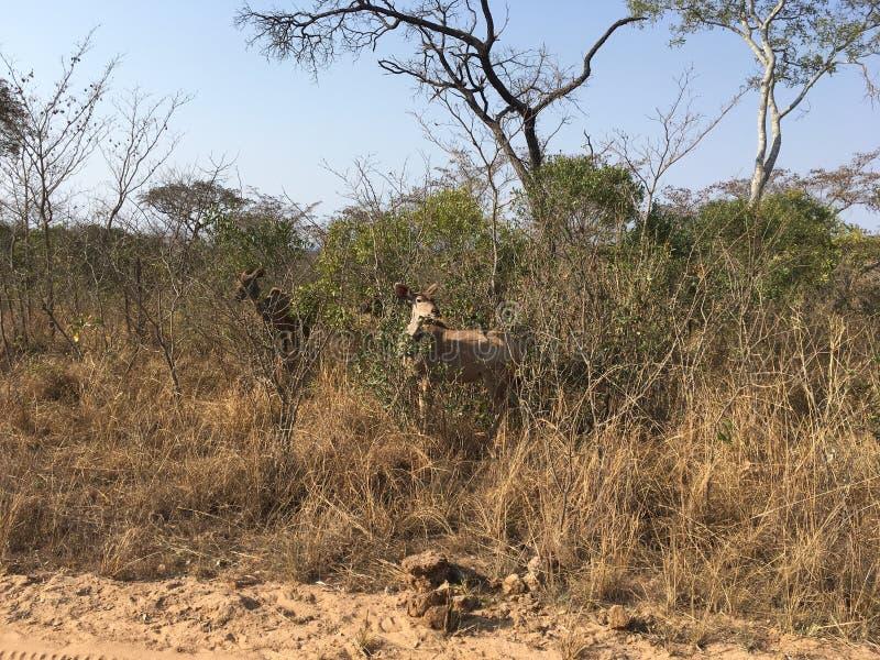 Kudu w SÃ ¼ dafrika - kudo w Southafrica zdjęcia royalty free