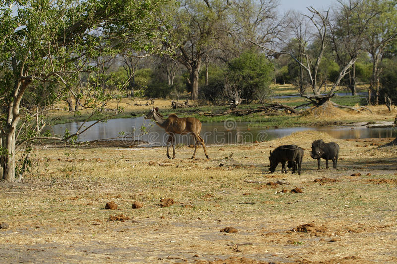 Kudu & Wart Hog Family. The Wart hog is a wild member of the pig family found in Sub-saharan Africa royalty free stock photo