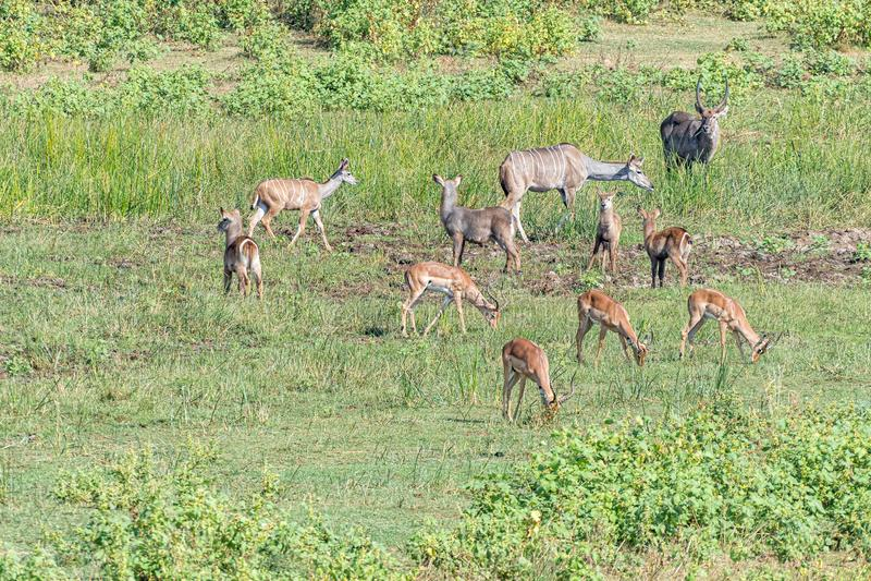 Kudus、飞羚和waterbuck 库存照片