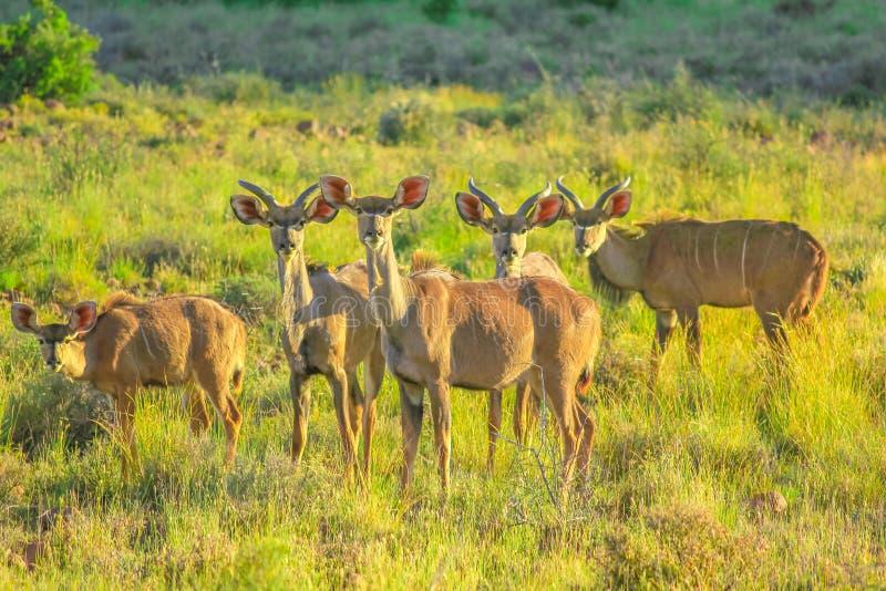 Kuduwijfjes in het Nationale Park van Karoo stock afbeelding