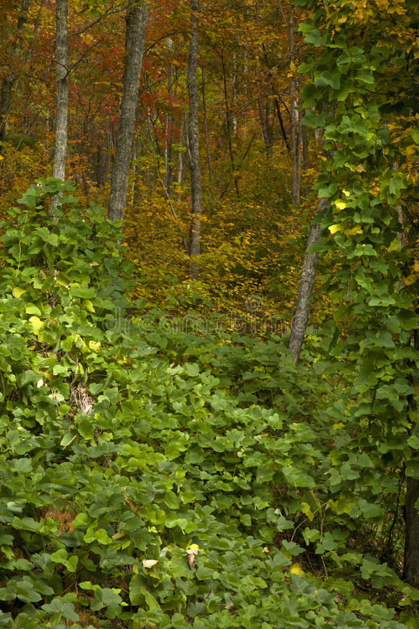 Download Kudzu, Autumn, Cherokee NF Stock Photography - Image: 17674912