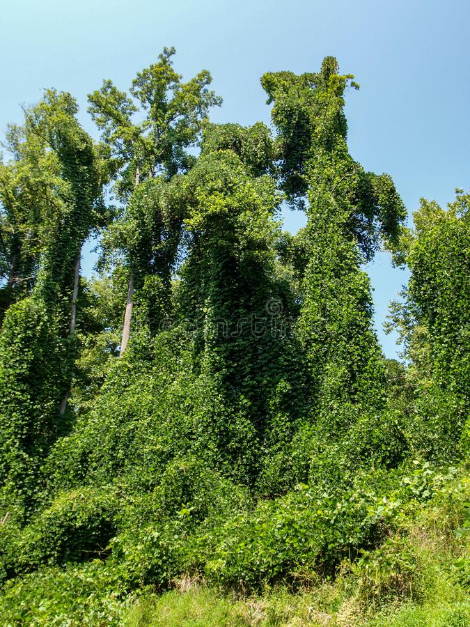 Kudzu die Inheemse Installaties in Noord-Carolina smoren royalty-vrije stock fotografie