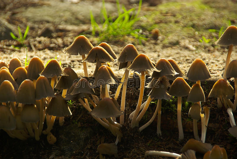 Kuehneromyces mutabilis. Fungus in autumn forest royalty free stock image