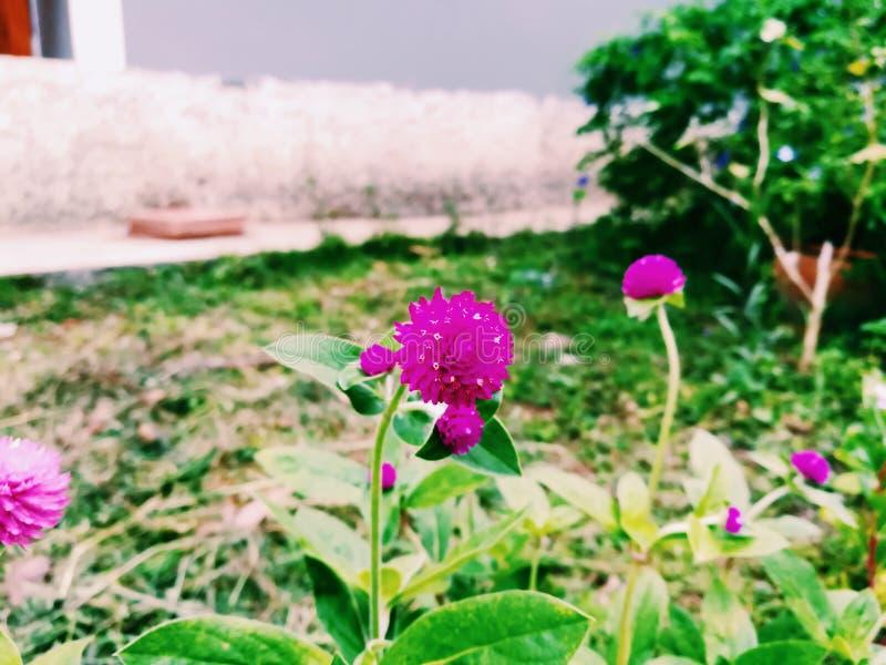 Kugel-Amarant blühen stockbilder