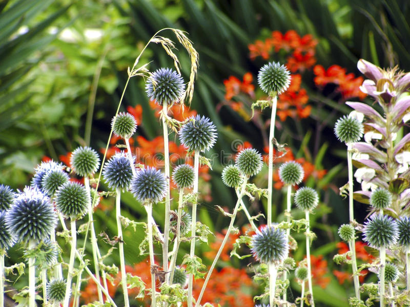 Kugel-Distel im Blumengarten lizenzfreie stockfotografie
