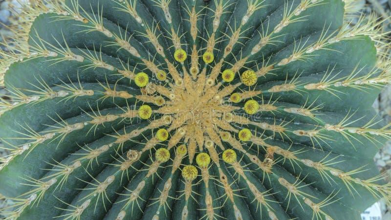 Kugel formte grünen Kaktus mit gelber Mitte Draufsichtkaktusgarten, Mittelfokus Schlie?en Sie herauf Draufsicht stockbild