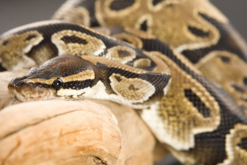 Kugel-Pythonschlange auf Protokoll stockfotografie