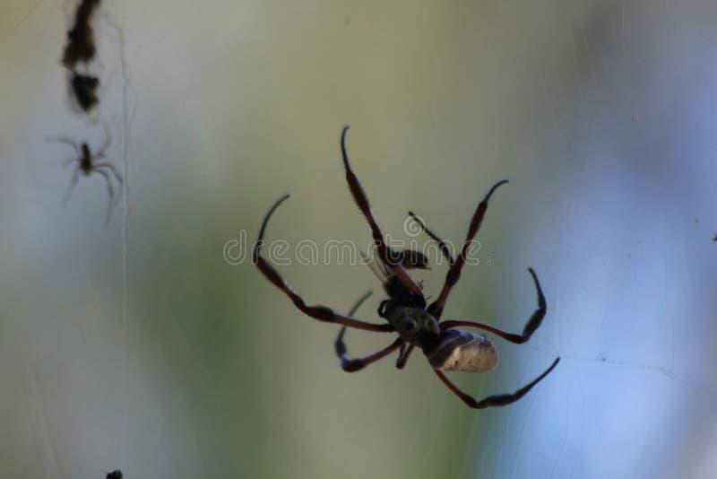 Kugel-Spinne stockfotografie