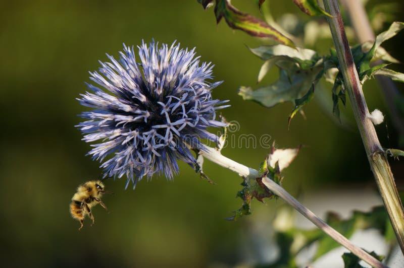 Kugeldistel w/bumblebee stockfotos