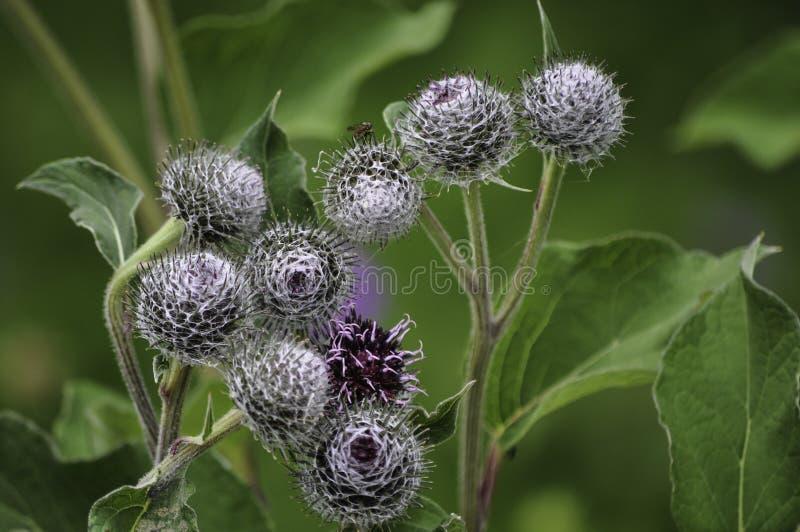 Kugelförmige Blume mit Splittern und durch Spinnennetze bedeckt stockfoto