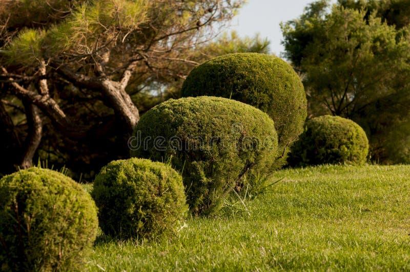 Kugelförmiger Buchsbaumbusch lizenzfreie stockfotos