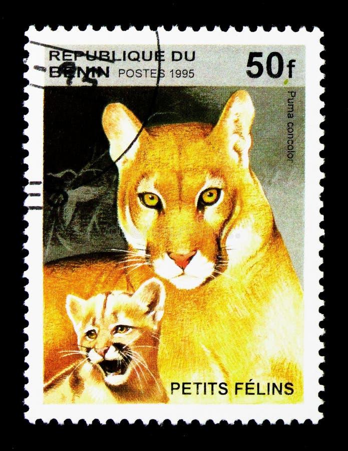 Kuguar (Felis concolor), Dziki kota seria około 1995, zdjęcie royalty free