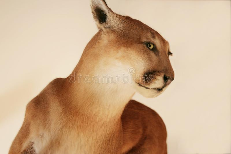 Kuguar na kremowym beżowym tle obraz royalty free