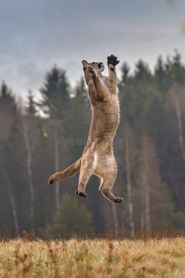 Kuguar pumy concolor, tak?e powszechnie zna? jako halny lew, puma, pantera lub catamount, jest wielki jakaś wielki dziki t fotografia royalty free