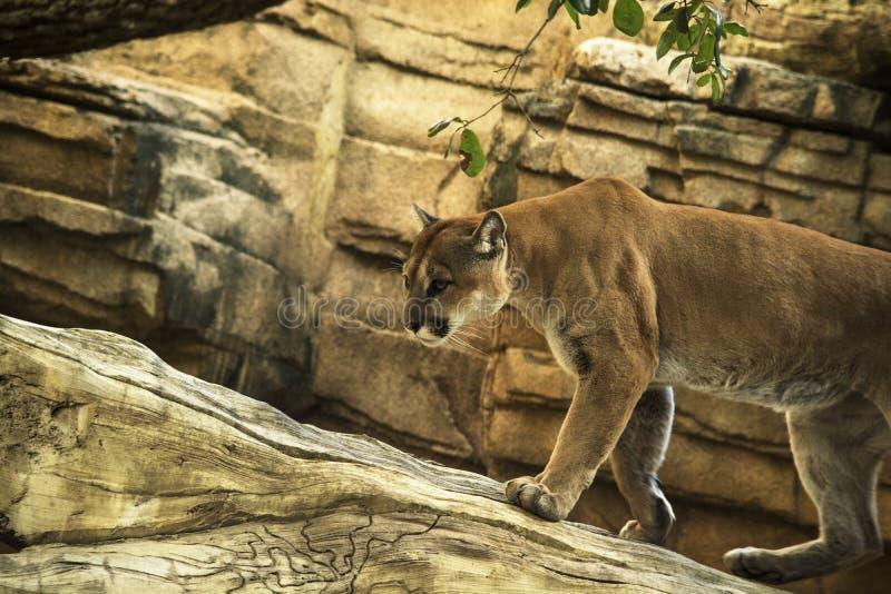 Kuguara (puma) halny lew obrazy royalty free