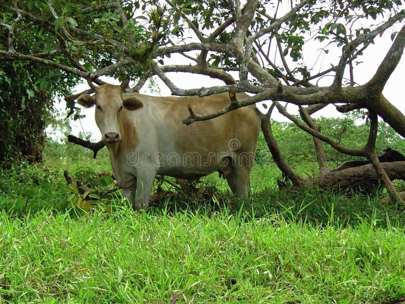 Download Kuh stockbild. Bild von tier, inländisch, gras, notwendigkeiten - 96929893