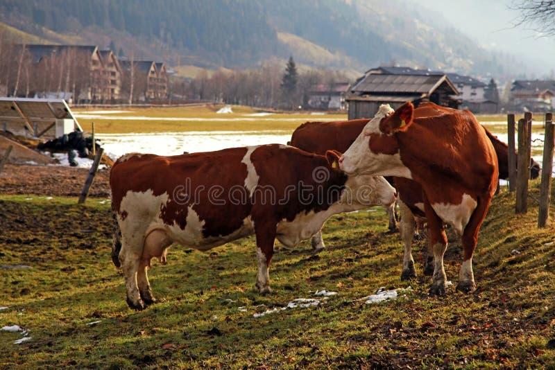 Kuh auf alpinem Bauernhof stockfotografie