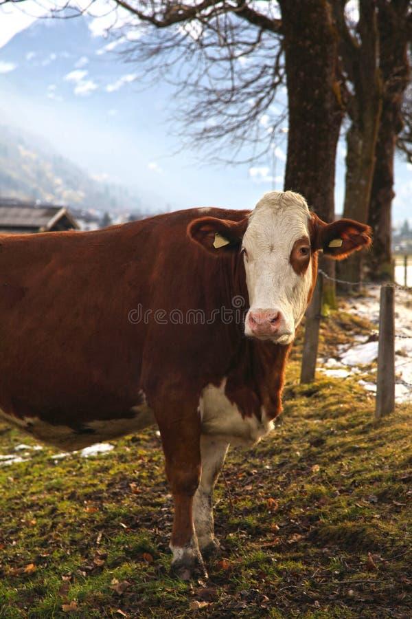 Kuh auf alpinem Bauernhof stockfoto