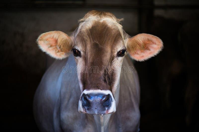 Kuh auf Bauernhofrennen alpines Brown stockfoto