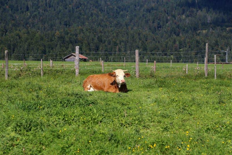 Kuh auf Bergwiesen in den österreichischen Alpen stockfoto