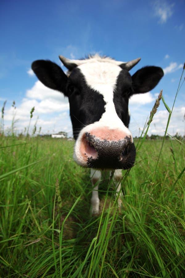 Kuh auf dem grünen Gebiet stockbilder