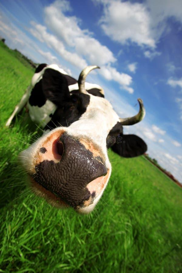 Kuh auf dem grünen Gebiet stockbild