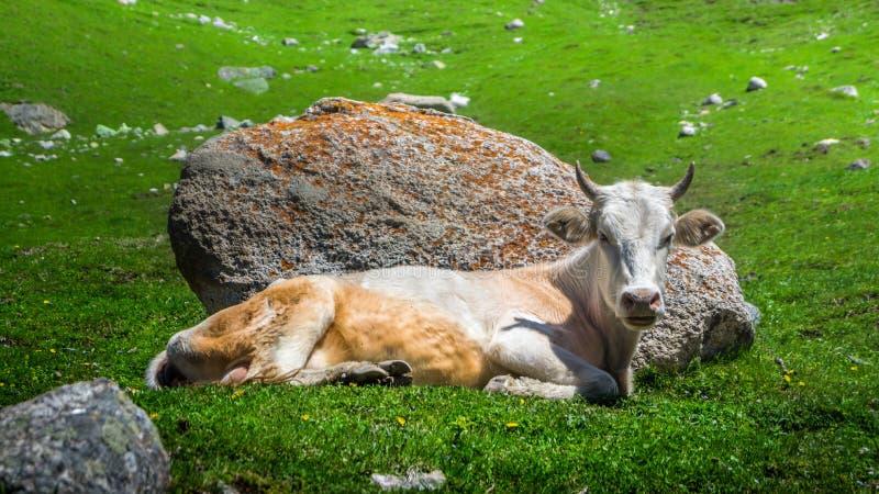 Kuh auf dem Gras lizenzfreies stockbild