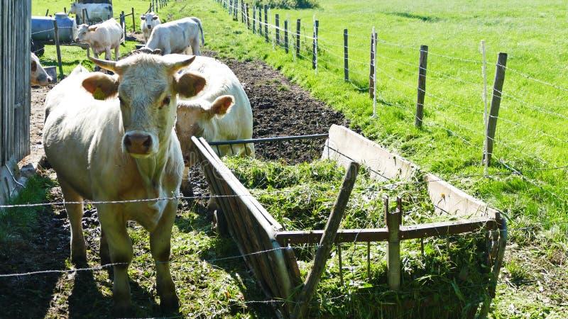 Kuh auf der Weide royalty free stock photos