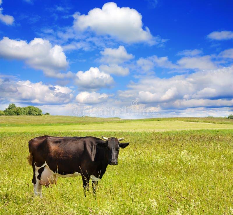 Kuh auf der Wiese lizenzfreie stockfotografie