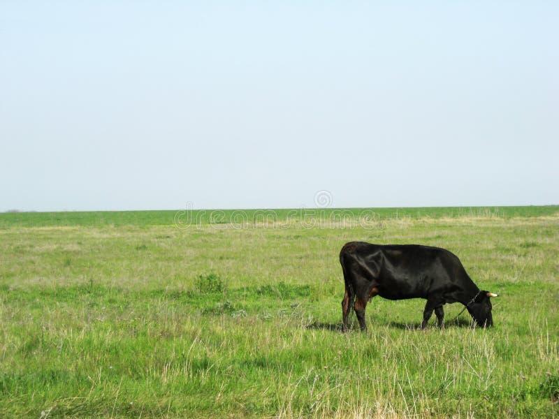 Kuh auf einem Morgenspaziergang im Frühjahr stockbilder